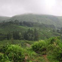 Foggy tea plantations.