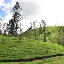Tea bushes at St Andrews plantation.