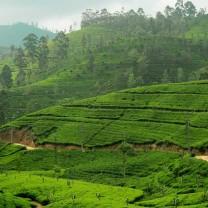 The tea garden of your Morning Tea.